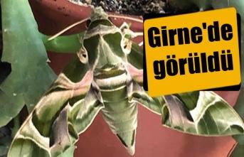 Ender rastlanan kelebek türü Girne'de görüldü