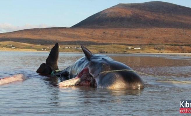 Karaya vuran balinanın karnından 100 kilogram çöp çıktı