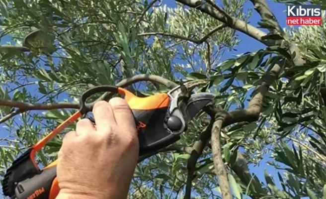 Devlet Üretme Çiftlikleri Dairesi,  4 bin zeytin ağacının budanarak aşılanabilir duruma getirilmesi amaçlı teklif kabul edecek