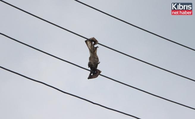 Kuşkor: Varlığı tehlike altındaki yarasalar elektrik hattı kurbanı