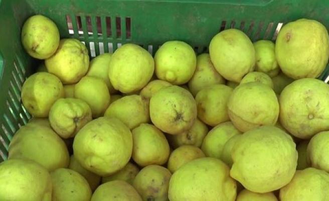 Standart dışı limon için Cypfruvex'e müracaatların 25 Ocak'a kadar