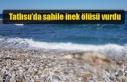 Tatlısu'da sahile inek ölüsü vurdu
