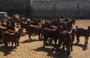 Devlet Üretme Çiftlikleri damızlık oğlak satışları...