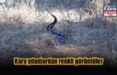 Kara yılanlardan renkli görüntüler