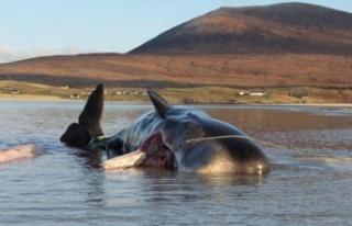 Karaya vuran balinanın karnından 100 kilogram çöp...