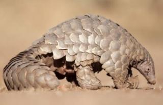 Bilim dünyası coronavirüsün bulaştığı hayvanı...