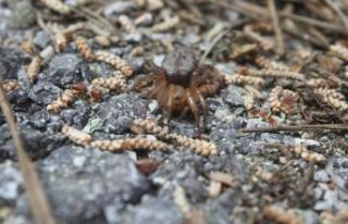 Kıbrıs'a özgü yeni bir örümcek türü keşfedildi