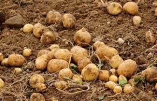 Sonbahar patates ekimi yapılan araziler yarına kadar...