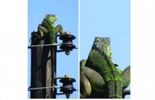 Direk'te güneşlenen Iguana