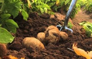Sofralık patates ihracatına 40 kuruş destek veriliyor