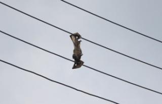 Kuşkor: Varlığı tehlike altındaki yarasalar elektrik...
