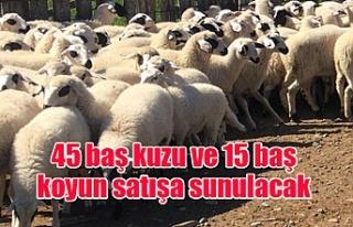 45 baş kuzu ve 15 baş koyun satışa sunulacak