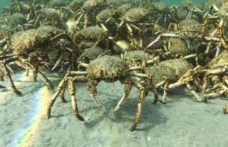 Avustralya sahillerini dev yengeçler istila etti