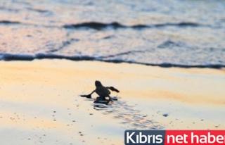 Bilinçsizlik yavru kaplumbağaları öldürüyor