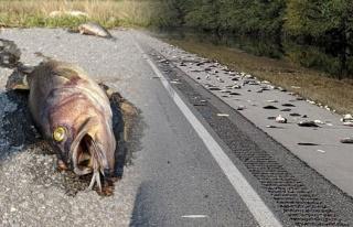 Otoyol yüzlerce ölü balık...