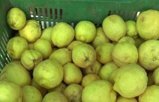 Standart dışı limon için Cypfruvex'e müracaatların...