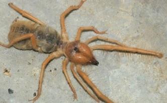 Et yiyen örümcek yine ortaya çıktı!