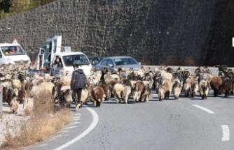 600 koyun ile karayoluna çıktı, trafik kilitlendi