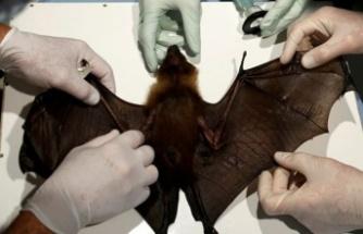 Vuhan'daki laboratuvar yarasalarda 1.500 koronavirüs türü saptadı