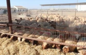 Tika'dan KKTC'de çiftçilere küçükbaş hayvan desteği
