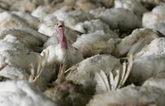 İngiltere'de kuş gribi salgını: 10 binden fazla hindi itlaf edilecek
